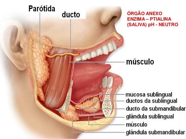ÓRGÃO ANEXO ENZIMA – PTIALINA (SALIVA) pH - NEUTRO
