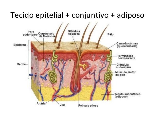 Tecido epitelial + conjuntivo + adiposo