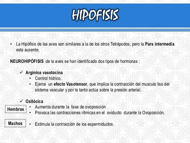 GLÁNDULAS  TIROIDES <br />TM Timo<br />UB Cuerpos utimobranquiales <br />PT glándulas paratiroideas <br />Ti Tiroides<...