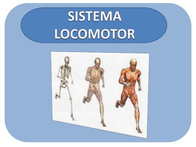 Os movimentos que fazemos com nosso corpo acontecem em virtude do sistema locomotor, formado pelo esqueleto e pelos múscul...