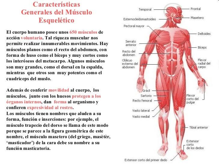 Magnífico Anatomía Músculo De La Espalda Humana Regalo - Anatomía de ...