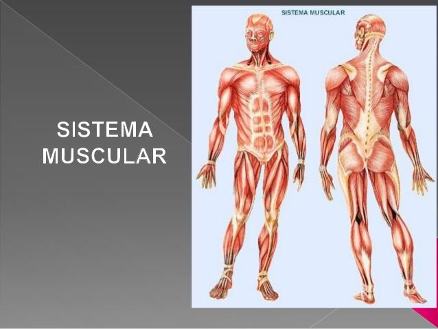 Sistema muscular --- ceas