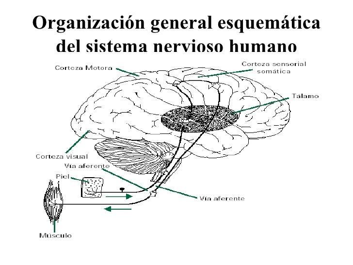 Organización general esquemática del sistema nervioso humano