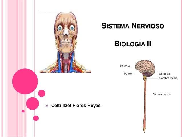 SISTEMA NERVIOSO BIOLOGÍA II Celti Itzel Flores Reyes