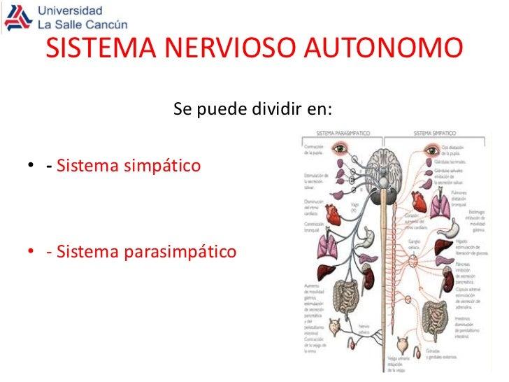 Sistema nervioso autonomo for Se puede dividir un piso en dos