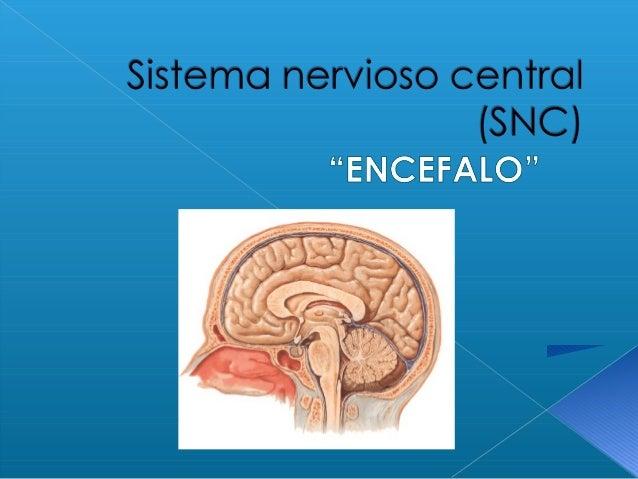 ORGANIZACIÓN Y FUNCIÓN DELORGANIZACIÓN Y FUNCIÓN DEL Sistema NerviosoSistema Nervioso Sistema Nervioso Central (SNC) • Rec...