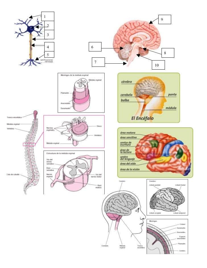 Sistema nervioso imagenes