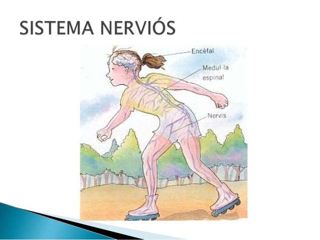 SISTEMA NERVIÓS SISTEMA NERVIÓS CENTRAL SISTEMA NERVIÓS PERIFÈRIC ENCÈFAL MEDUL.LA ESPINAL NERVIS NERVIS SENSITIUS NERVIS ...