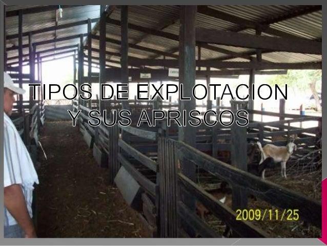 A. EXPLOTACION EN PASTOREO EXTENSIVO. Rebaños de 20 a 3000 animales. Rústicos y resistentes a las variaciones del medio am...