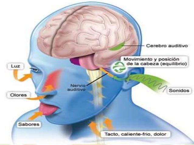 Resultado de imagen de sistema vestibular