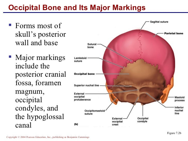 Posterior cranial fossa anatomy