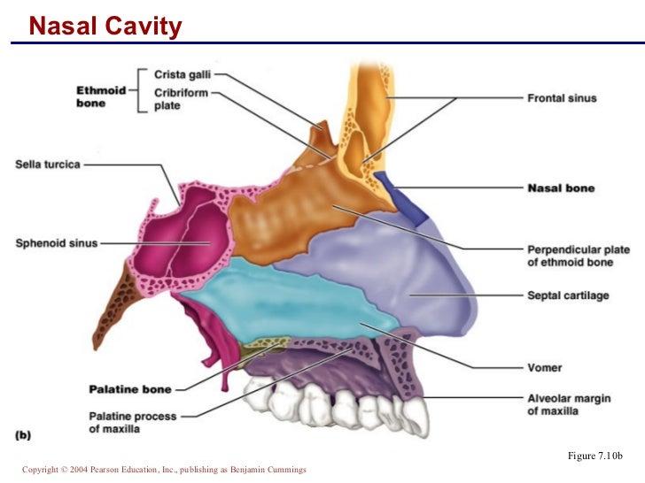 Nasal bone anatomy