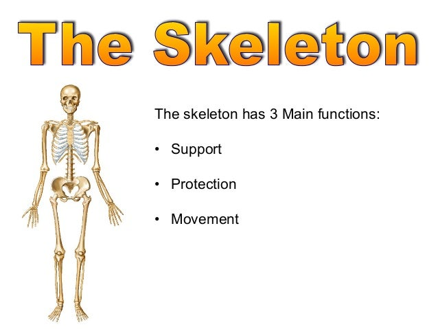 The skeleton has 3 Main functions:• Support• Protection• Movement