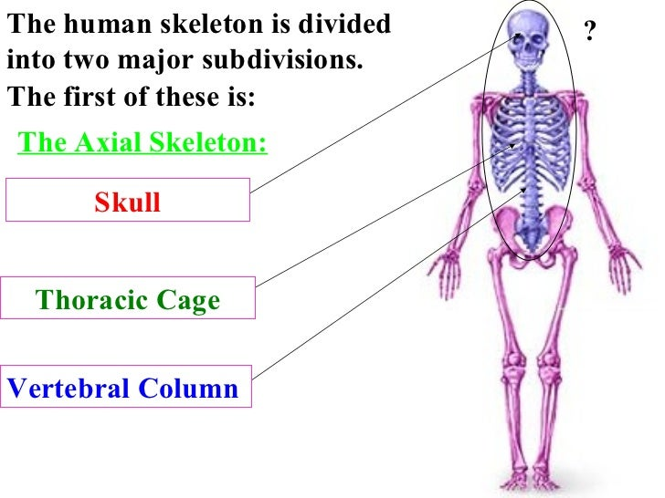 The Axial Skeleton: The human skeleton is divided into two major subdivisions.  The first of these is: Skull Thoracic Cage...