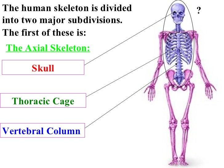 Skeleton system review