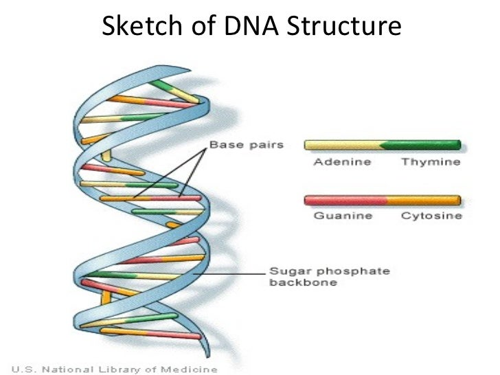 Sketch of DNA Structure