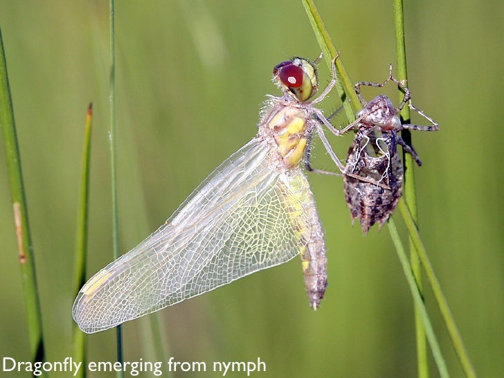 Dragonfly emerging from nymph
