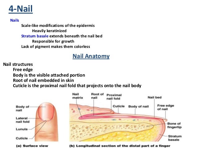 Anatomy Nail Structures