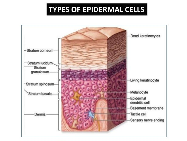 Image Gallery epidermal cells