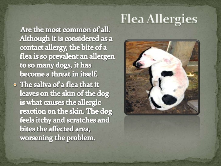 Flea Allergy Specialist For Dogs