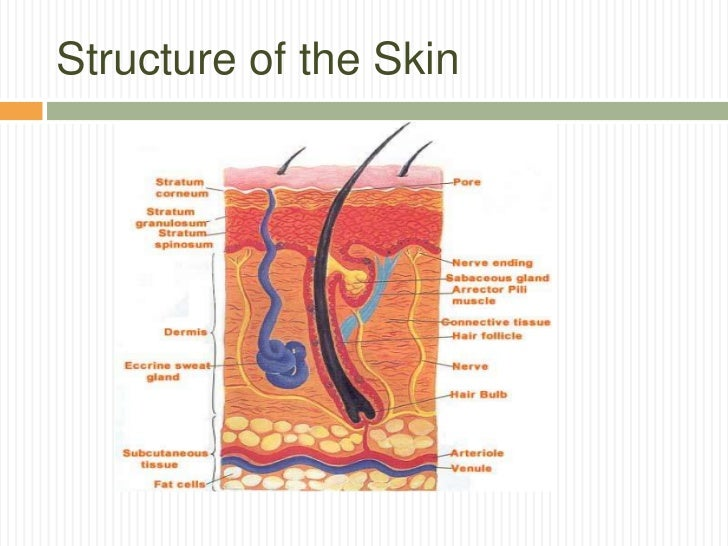 diagram layer skin structure skin model diagram elsavadorla