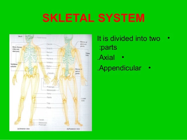 SKLETAL SYSTEM •It is divided into two parts: •Axial. •Appendicular.