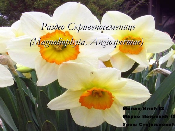 Раздео Скривеносеменице(Magnoliophyta, Angiospermae)                       Милан Илић I2                       Марко Петро...
