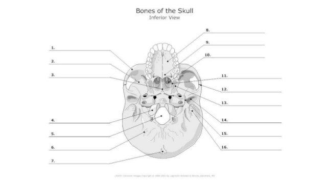 Skull Bones  Features And Markings Ii