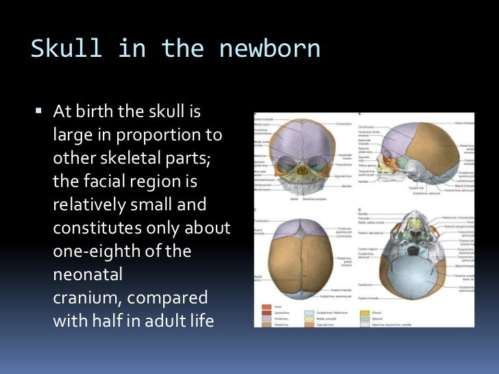 Skull in the newborn At birth the skull is  large in proportion to  other skeletal parts;  the facial region is  relative...