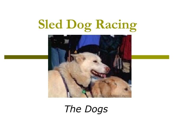 Sled Dog Racing Dogs