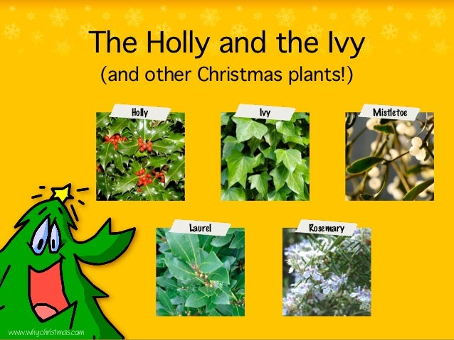 The Holly and the Ivy                       (and other Christmas plants!)                          Holly            Ivy   ...