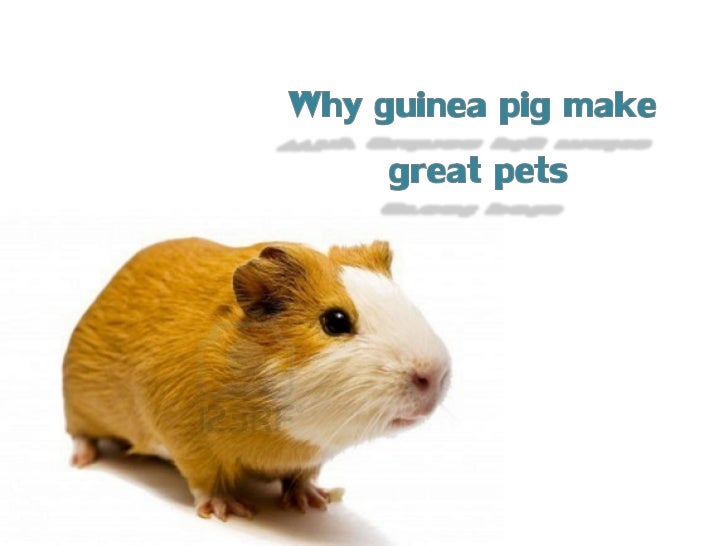 Why Guinea Pigs Make Great Pets