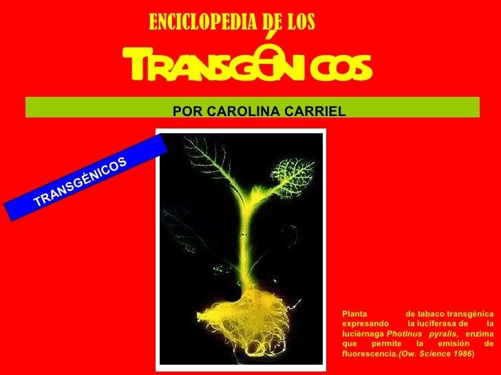 Transgénicos ENCICLOPEDIA DE LOS TRANSGÉNICOS Planta detabacotransgénica expresando laluciferasade la luciérnaga Phot...
