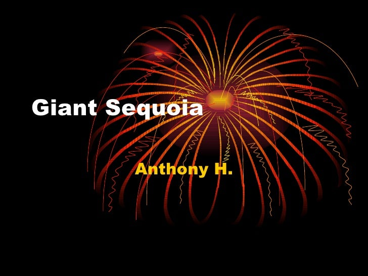 Giant Sequoia Anthony H.