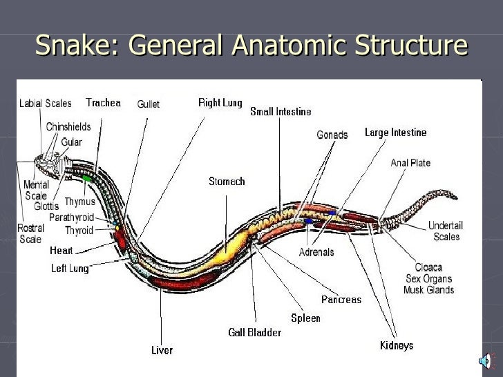 Anatomy of snakes
