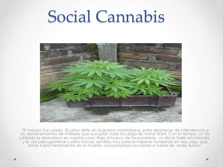 """Social Cannabis<br />Cáñamo  índico<br />""""El macizo fue usado, 20 años atrás en la guerra colombiana, para abastecer de in..."""