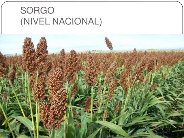 SORGO (NIVEL NACIONAL)