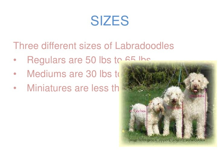 South S Labradoodles Presentation
