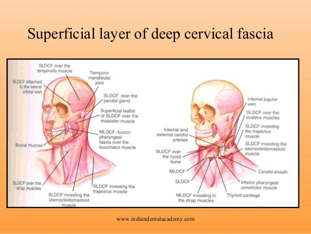 Cervical fascia anatomy