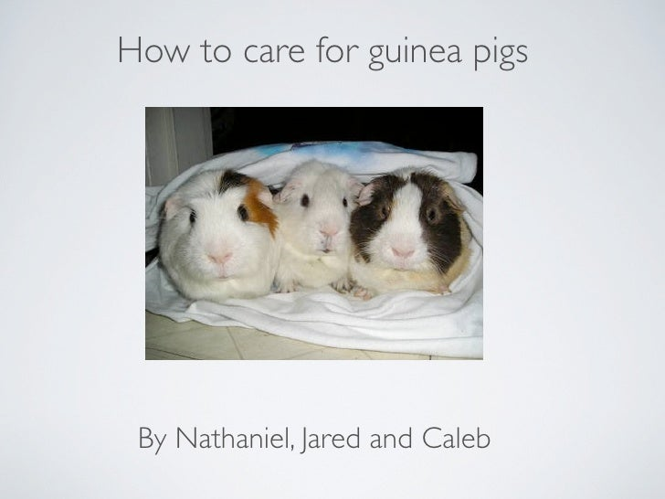 How to care for guinea pigs      By Nathaniel, Jared and Caleb