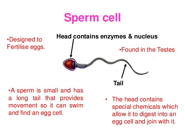Sperm cell•Designed to      Head contains enzymes & nucleusFertilise eggs.                      •Found in the Testes      ...
