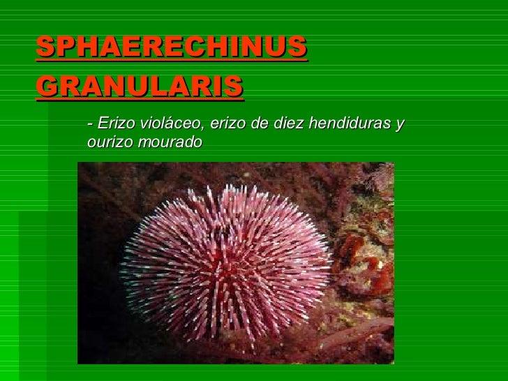 SPHAERECHINUS GRANULARIS - Erizo violáceo, erizo de diez hendiduras y ourizo mourado