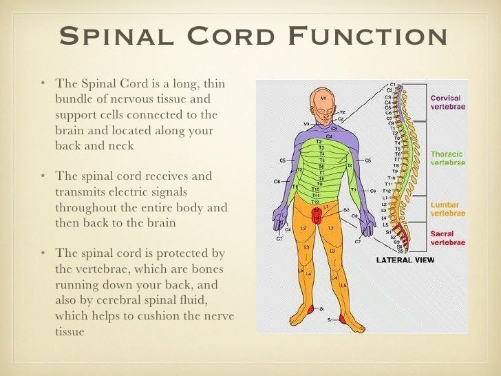 Spinal cord anatomy and function