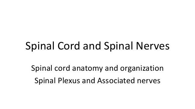 Spinal Cord and Spinal Nerves Spinal cord anatomy and organization Spinal Plexus and Associated nerves