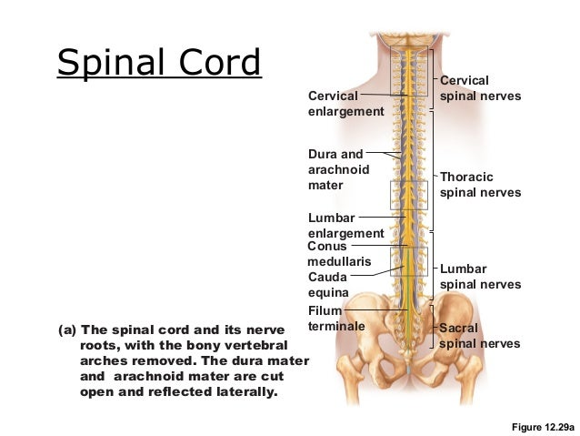 Cervical spinal cord anatomy