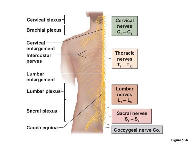 Lumbar enlargement - Wikipedia