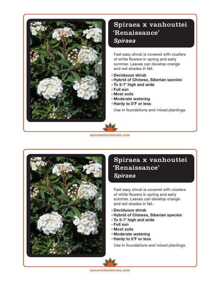 Spiraea Vanhouttei Renaissance Spiraea x Vanhouttei 39 Renaissance 39 Label
