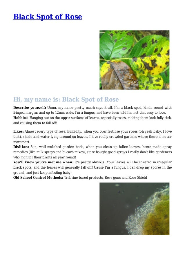 Black Spot of Rose Disease Control for your Garden