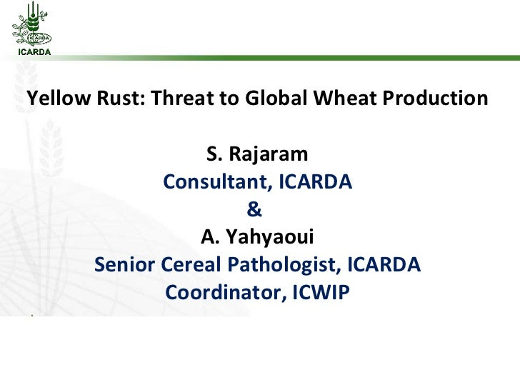 Yellow Rust: Threat to Global Wheat Production S. Rajaram Consultant, ICARDA &  A. Yahyaoui Senior Cereal Pathologist, ICA...