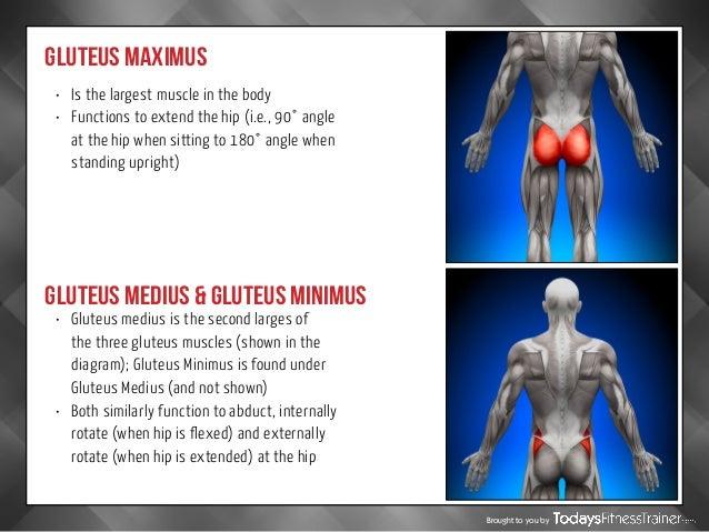 Gallery For > Gluteus Maximus Medius And Minimus Exercises